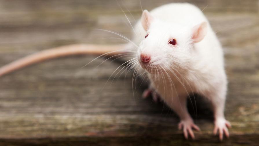 Британцев предупредили о нашествии миллионов крыс из-за закрытия пабов