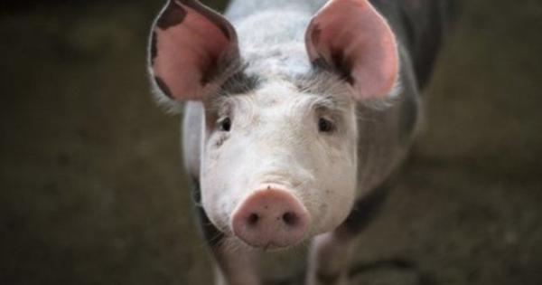 ВТатарстане начался отстрел кабанов из-заафриканской чумы свиней— видео
