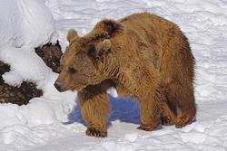 Медведь в Нижневартовске навел панику среди жителей. Люди спасаются на крышах остановок. Видео
