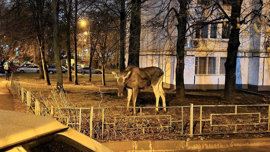 Лось вышел из леса к людям в столичном районе Бирюлево Восточное