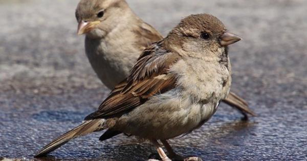 Орнитологи забили тревогу: вКазани осталось крайне мало воробьев